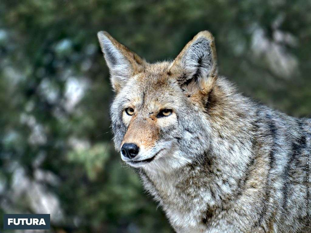 Loup du Minnesota USA