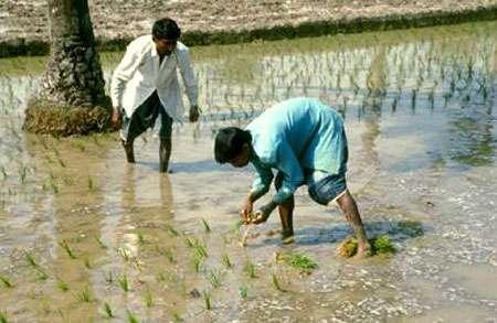 Les recherches sur le comportement de l'arsenic dans la riziculture irriguée sont très limitées