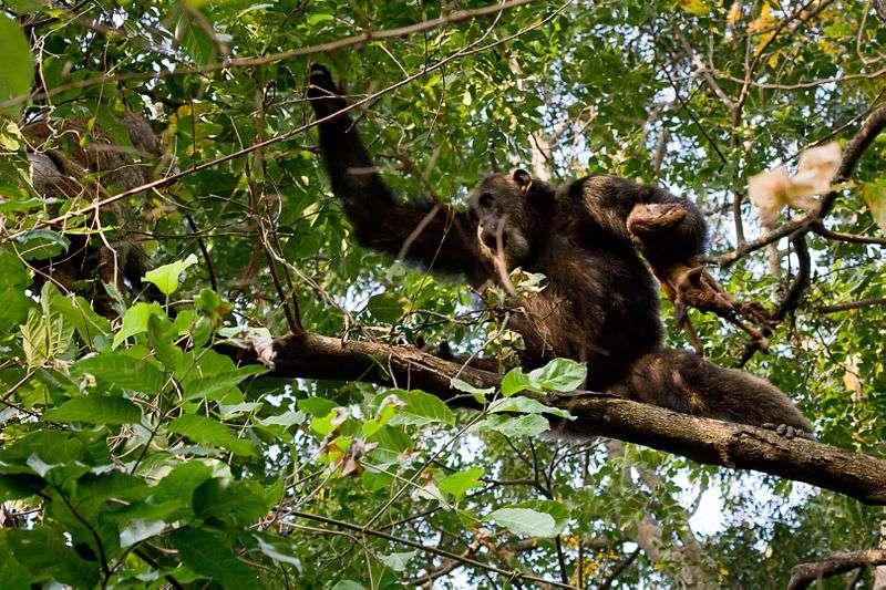 Chimpanzé et sa proie. © Ikiwaner, GNU FDL Version 1.2