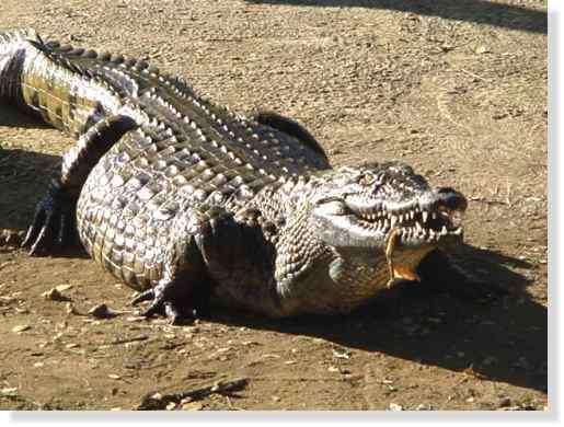 Crocodile du Nil © Photo Philippe Mespoulhé Reproduction interdite © Photographies réalisées par Philippe Mespoulhé au Kenya, à La Réunion et à Singapour. Tous droits réserv