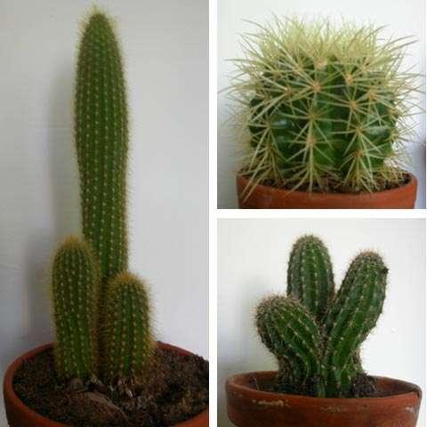 Figure 23. Quelques cactus. Ils ont tous des formes arrondies, des tiges vertes et des feuilles réduite à des épines complexes. © Biologie et Multimedia