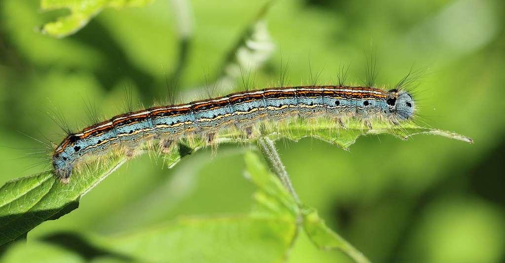 Chenille de Malacosoma neustria caterpillar. © Nidan, Domaine public