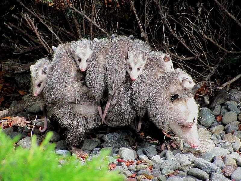 Opossum de Virginie et ses jeunes. © specialjake, Wikimedia Commons, cc by sa 3.0