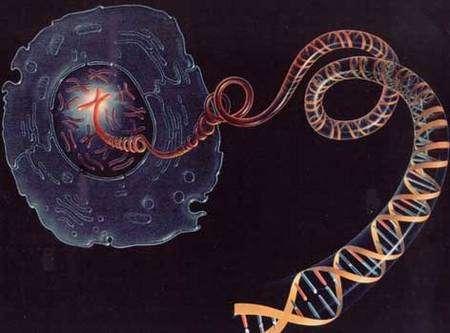 """Une vision (un peu simplifiée) d'une cellule et de son noyau dans lequel on voit les chromosomes. L'un deux est """"déroulé"""" pour montrer la molécule d'ADN."""