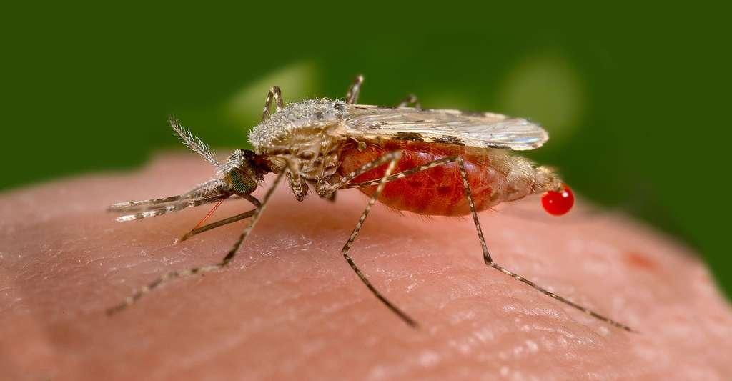 Le développement d'un vaccin contre le paludisme est complexe. Cette maladie est causée par un parasite unicellulaire du genre Plasmodium, transmis lors d'une piqûre par un moustique. Ici, Anopheles stephensi. © Jim Gathany, DP