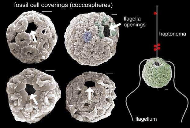La structure de coccosphères au microscope électronique. Les orifices montrent la position d'un flagelle supplémentaire en plus de l'haptonème. Ils émergent de la cellule et permettent de capturer des proies, notamment des bactéries (points rouges). © Paul Bown