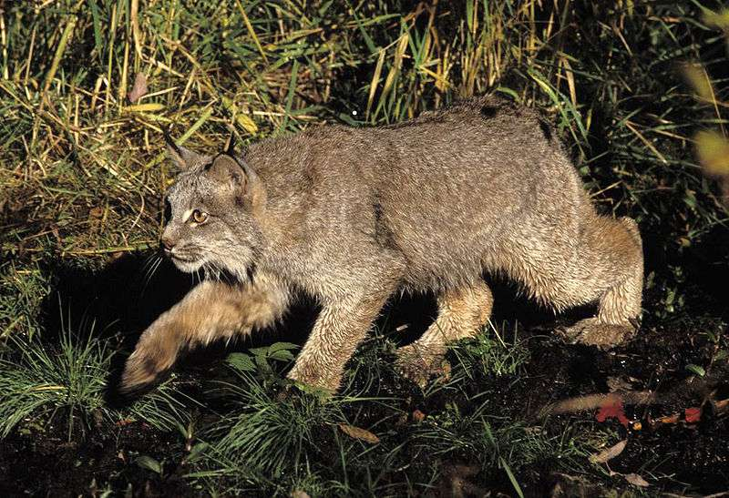 Lynx du canada. © Erwin et Peggy Bauer, the U.S. Fish and Wildlife Service, domaine public