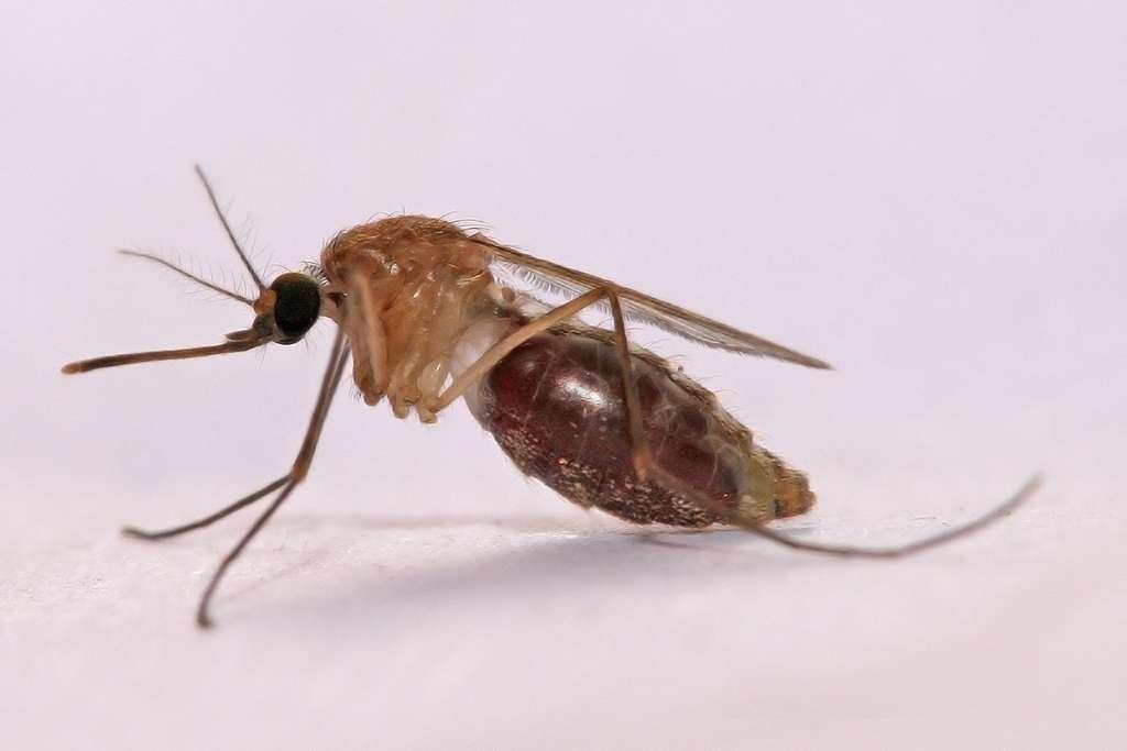 Le paludisme, qui tue encore aujourd'hui 781.000 personnes par an dans le monde, se transmet via un moustique vecteur. © Wikipédia CC