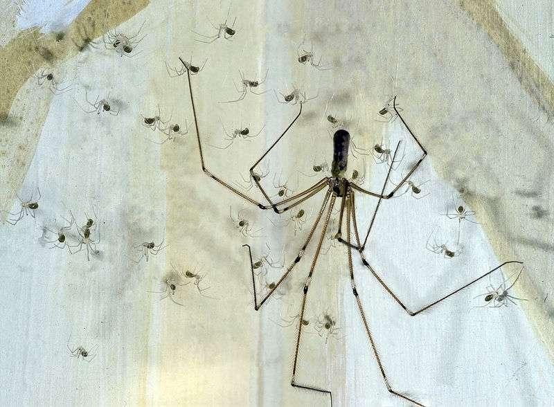 Le pholque est une araignée typique des maisons. © Didier Descouens, Wikipédia, cc by sa 3.0