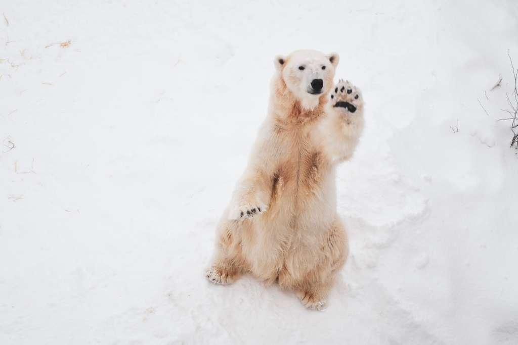 L'ours polaire peine à s'adapter au réchauffement climatique. Faut-il alors l'implanter en Antarctique ? © Bao Menglong, Unsplash