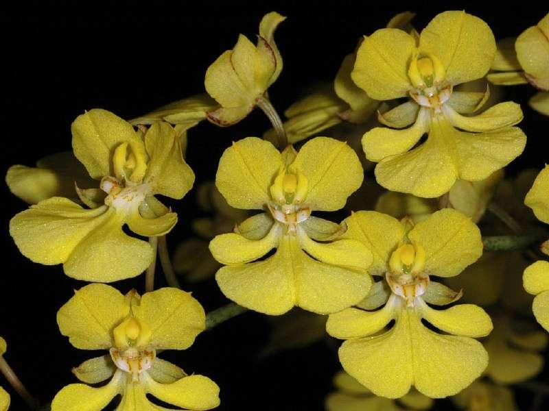 Orchidée Zelenkoa onusta