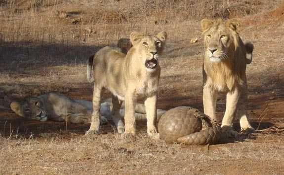 Pangolin indien roulé en boule pour se défendre contre des lions. © Sandip kumar, Wikipédia, cc by sa 3.0