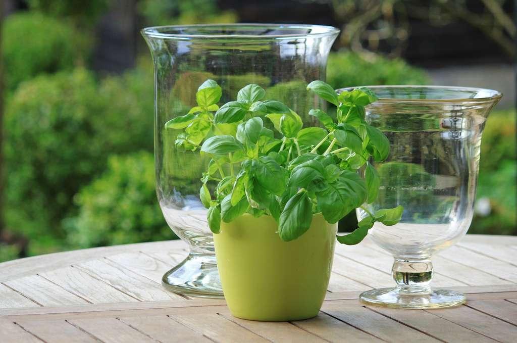 Plante aromatique et condimentaire, le basilic s'utilise aussi bien en cuisine qu'en infusion ou en huile essentielle. © Pixabay