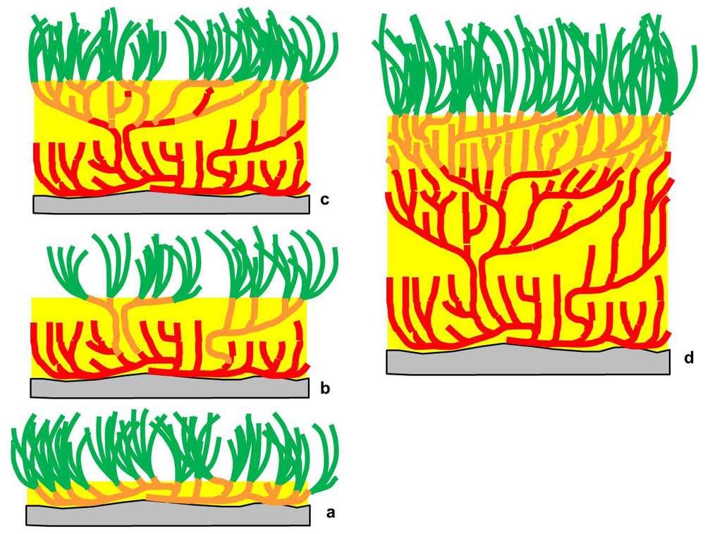 Figure 4.2. Les rhizomes de posidonie réagissent à l'ensevelissement par le sédiment, piégé par les feuilles, par une croissance verticale. Au cours du temps (a, b, c et d), la matte s'élève au-dessus du fond initial. En orange, les rhizomes vivants ; en rouge, les rhizomes morts ; en jaune : le sédiment qui colmate les interstices ; en vert : les feuilles vivantes. © Charles-François Boudouresque - Tous droits réservés - Reproduction interdite