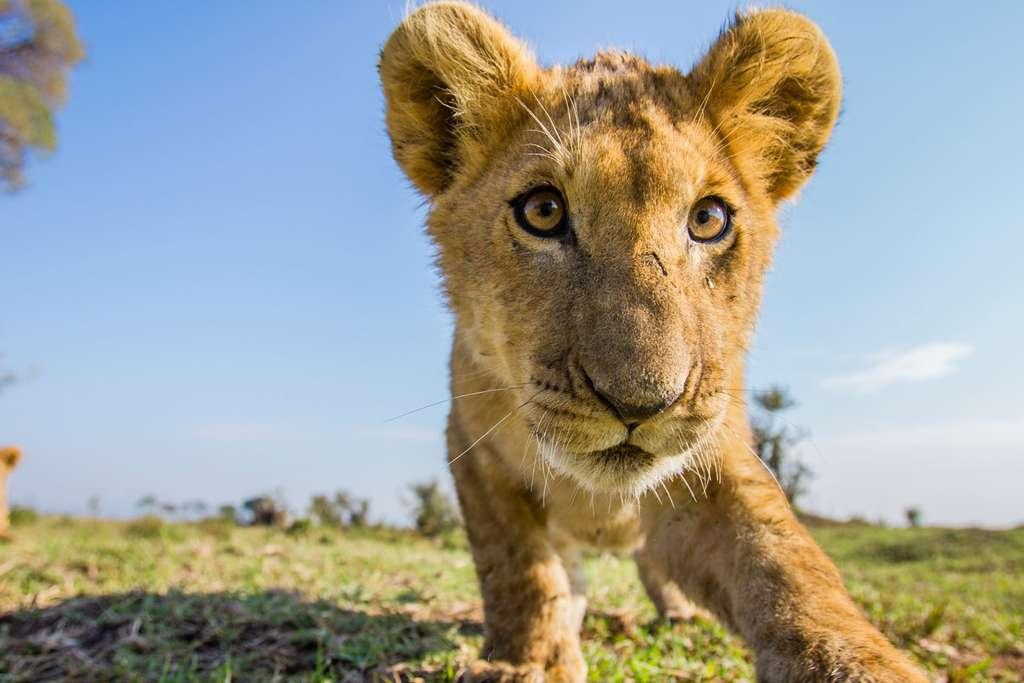 Petit lion deviendra roi!
