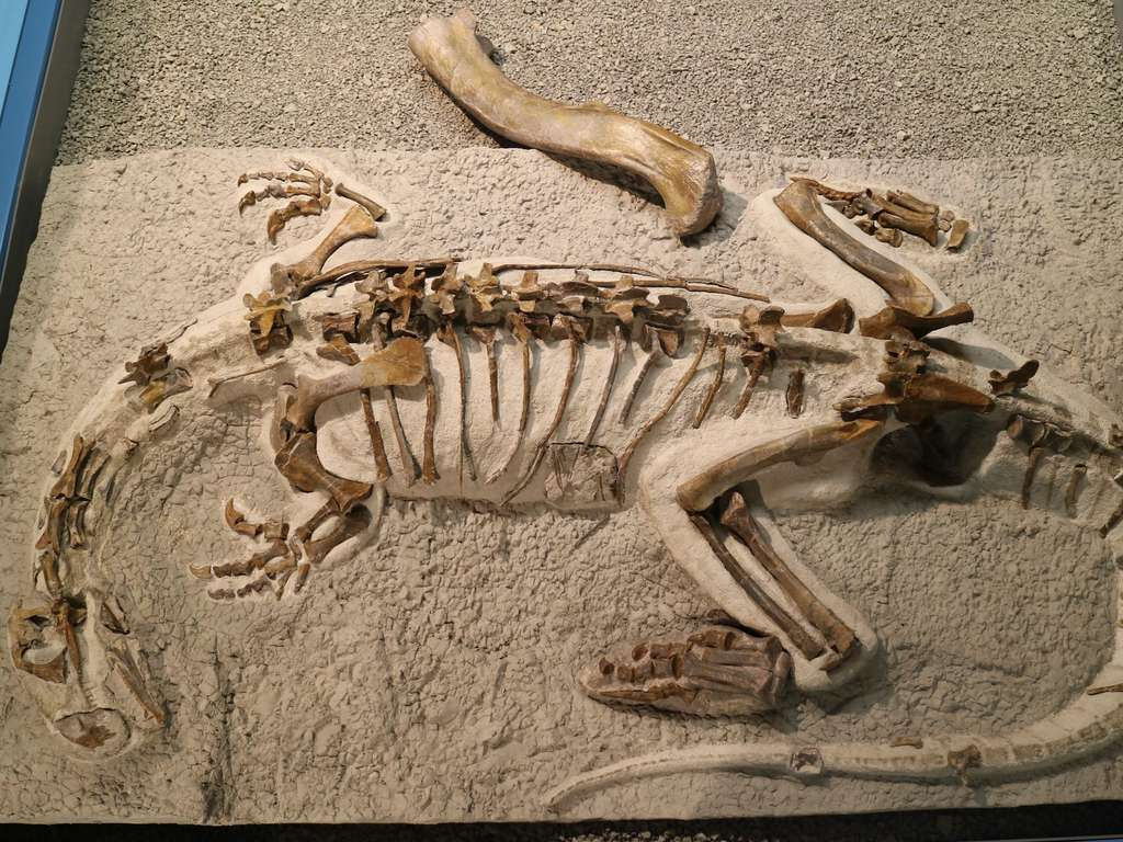 Le squelette analysé par les chercheurs de l'université de Bonn (Allemagne) avec un fémur de spécimen adulte de 50 centimètres de long en comparaison. © Saurermuseum Frick
