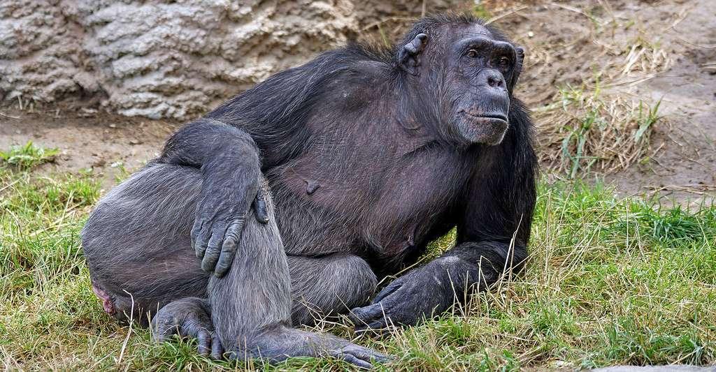 Chimpanzé attentif. © Pixel-mixer, Domaine public