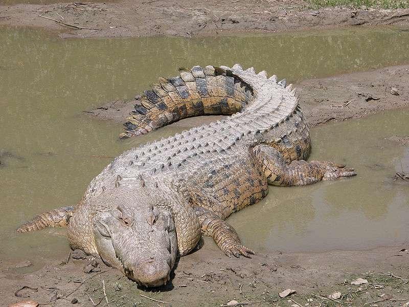 Le crocodile marin (Crocodylus porosus) fait partie des crocodiliens. © Molly Ebersold, domaine public