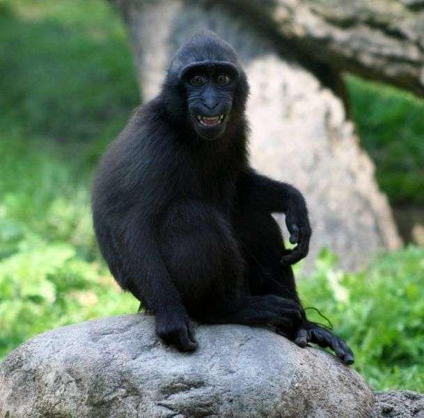 Macaque à crête juvénile. © Dave Pape, domaine public