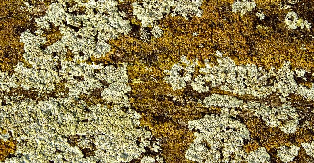 Lichens sur les grilles d'un jardin.© Daplaza, CC by-sa 3.0