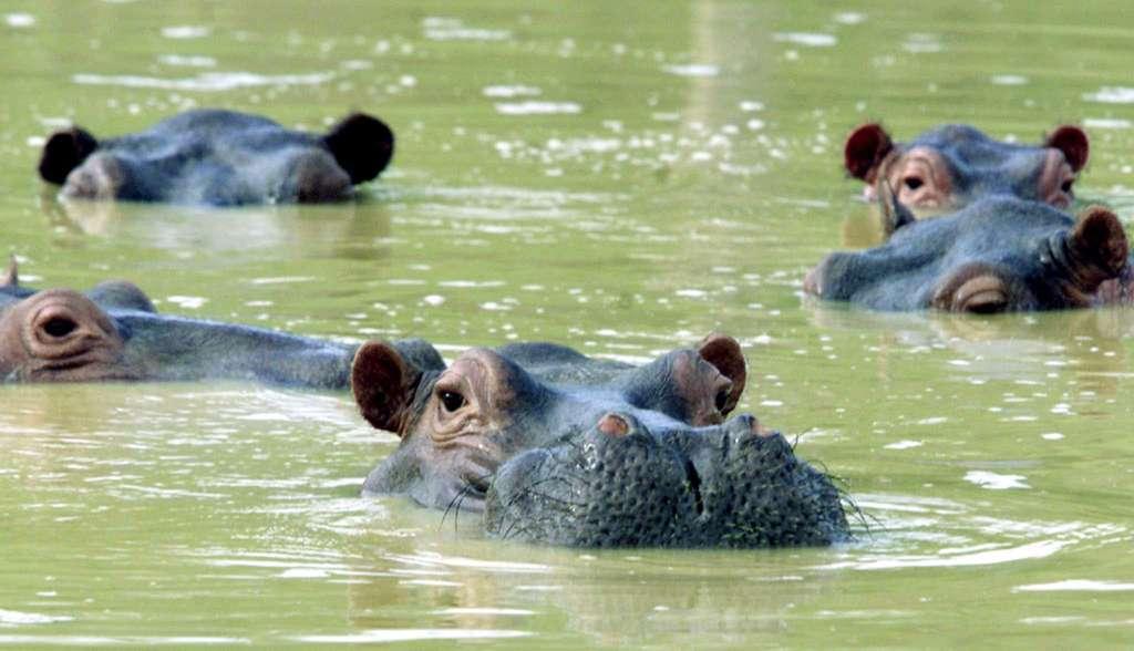 De quatre hippopotames en 1993, la population d'hippopotames est passée à une centaine en 2020. © FICG.mx, Flickr