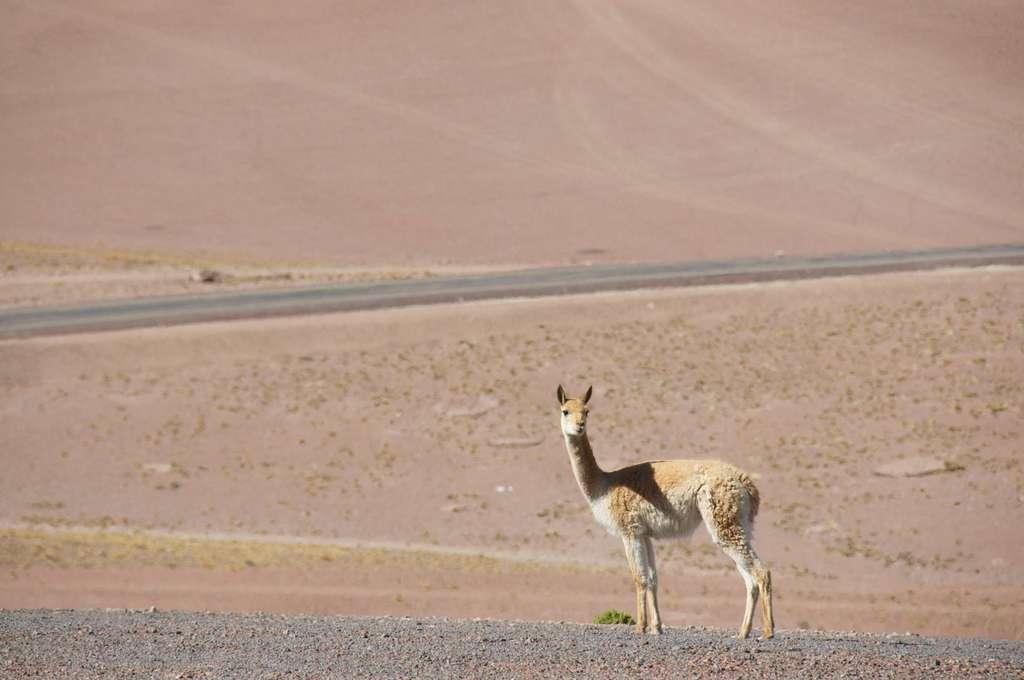 La vigogne, un étonnant animal du désert
