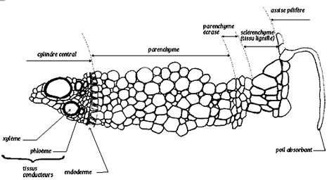 Détail d'une coupe transversale de racine. © DR
