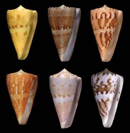 Fig. 15 Conus norai © Jean-Pierre Pointier - Tous droits réservés
