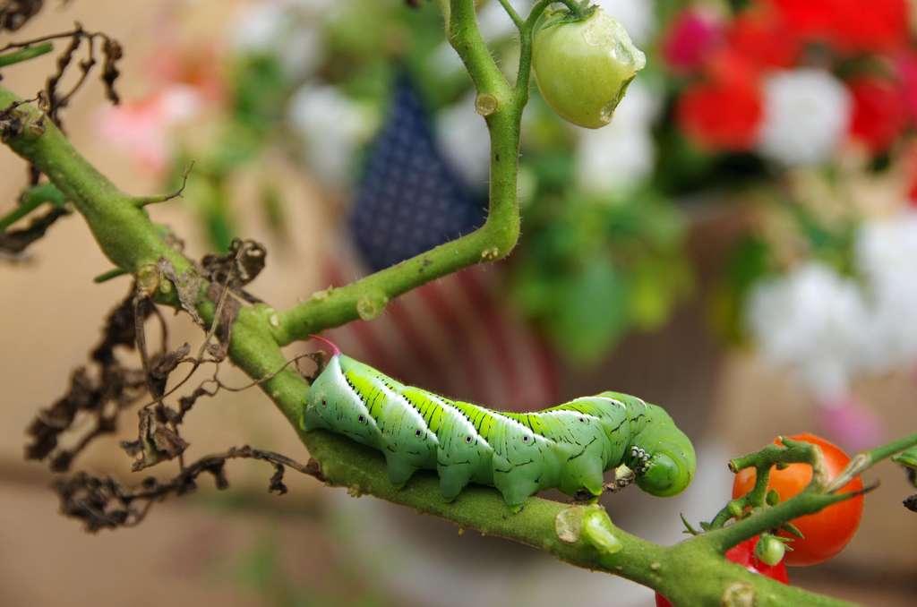 Les chenilles auraient une préférence pour les températures élevées, qui les poussent à manger davantage pour grossir davantage. © Paul Pellegrino, Adobe Stock