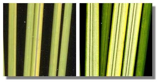 Figure 18. Mouvement des feuilles d'oyat en fonction de l'humidité de l'air. Des tronçons de feuilles sèches (à gauche) sont aspergés par de la vapeur d'eau. Les tubes formés par les feuilles s'ouvrent en quelques minutes. © Biologie et Multimedia