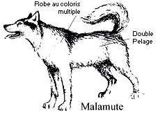 Comment reconnaître un Malamute d'Alaska - Copyright photo François Beiger (tous droits de reproduction interdit)