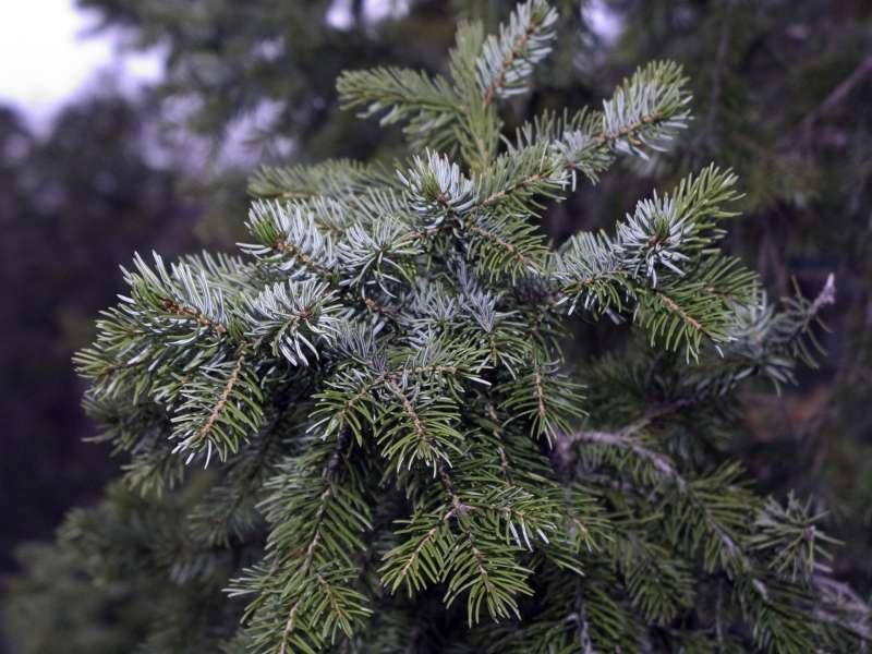 Picea omorika. © Roberta F., CC by-sa 2.5