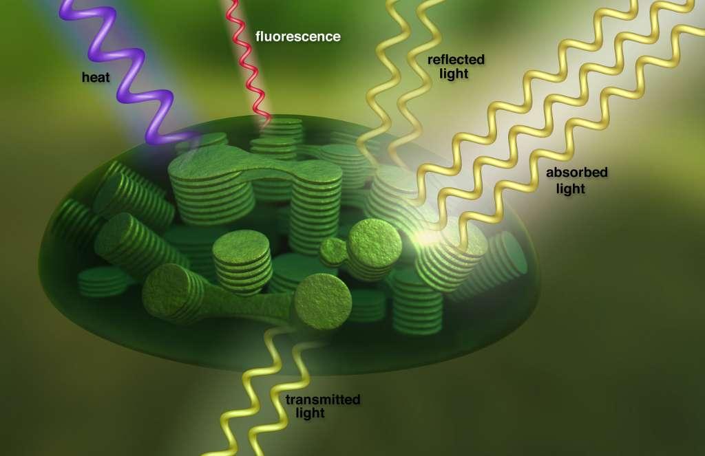 À l'intérieur des cellules végétales, les chloroplastes convertissent la lumière solaire (absorbed light) en énergie, tout émettant de la fluorescence dont la signature spectrale est détectable depuis l'espace. La lumière non absorbée est soit réfléchie (reflected light), soit transmise au travers de la cellule (transmitted light). © T. Chase, Nasa's Goddard Conceptual Image Lab