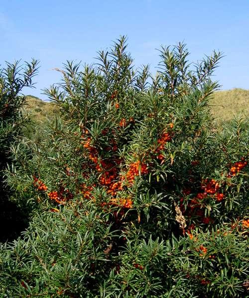 Fruticée d'argousiers. © Svdmolen GNU FDL 1.2