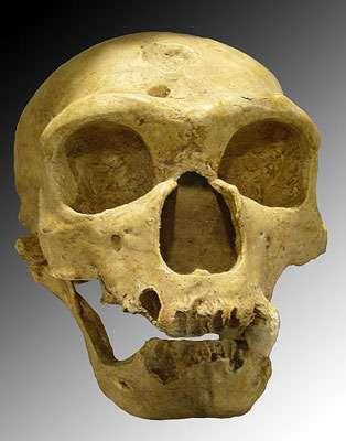 Homo neanderthalensis. Crâne découvert en 1908 à La Chapelle-aux-Saints (France). © Luna04, licence Creative Commons Paternité, partage des conditions initiales à l'identique 3.0 Unported