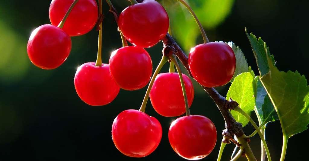 Le cerisier : taille et variétés. © Schueler Design, Pixabay, DP