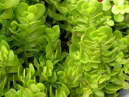 Crassula pellucia. © Derek Ramsey, GNU Free Documentation License, version 1.2