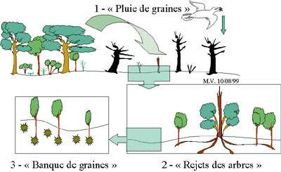 """""""Les différents modes de régénération après incendie"""" 1 - Dissémination des graines par le vent et les animaux à partir des zones non brûlées. 2 - Rejets des arbres à partir de la souche, ou des racines (drageons). 3 - Germination des graines profondément enfouies dans le sol ayant survécu à l'incendie."""