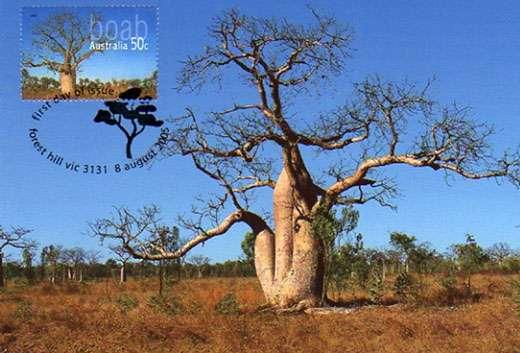 Adansonia gibossa. Seul baobab présent et endémique au nord-ouest de l'Australie. © S . Garnaud - Reproduction et utilisation interdites