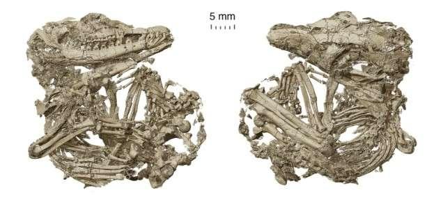 Deux squelettes de protomammifères analysés dans le cadre de l'étude. © Chuang Zhao