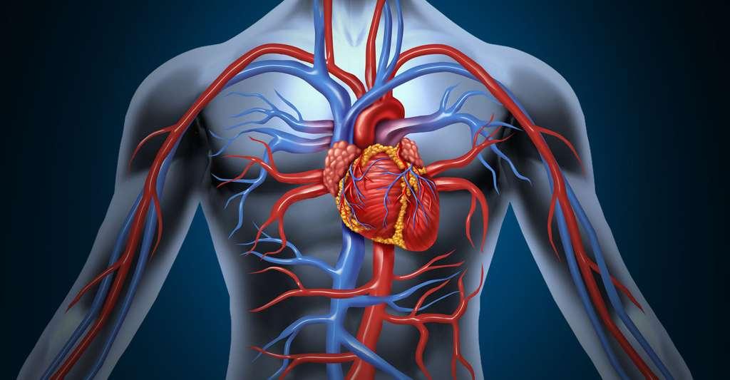 Zoom sur l'anatomie du cœur. © Lightspring, Shutterstock