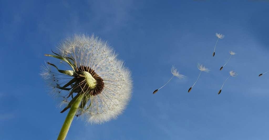 Fleur de pissenlit. © Blickpixel, Pixabay, DP