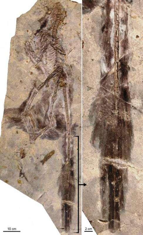 À gauche, les restes fossilisés de Changyuraptor. À droite, un zoom sur la partie correspondant à sa queue ornée de plumes. © L. Chiappe, Dinosaur Institute, NHM