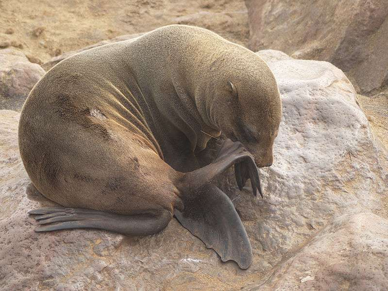 Otarie à fourrure brune femelle. © Hans Hillewaert, CC by-SA 3.0