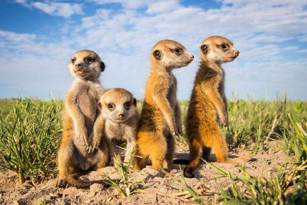 Des petits suricates qui jouent aux grands