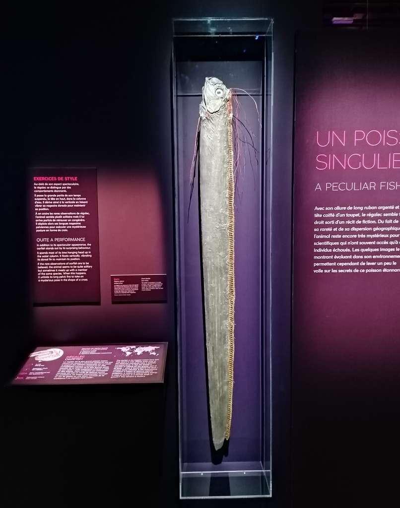 Avec son long corps effilé tel un ruban, le régalec a tout pour nourrir le mythe du serpent de mer. © Futura