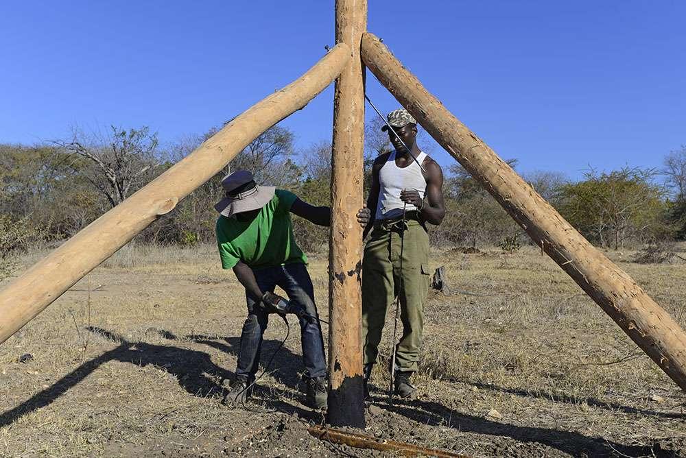 Création de clôtures en Zambie, un procédé très efficace. © Panthera, tous droits réservés, reproduction interdite