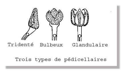 Les trois types de pédicellaires des oursins. © Dessin Philippe Mespoulhé
