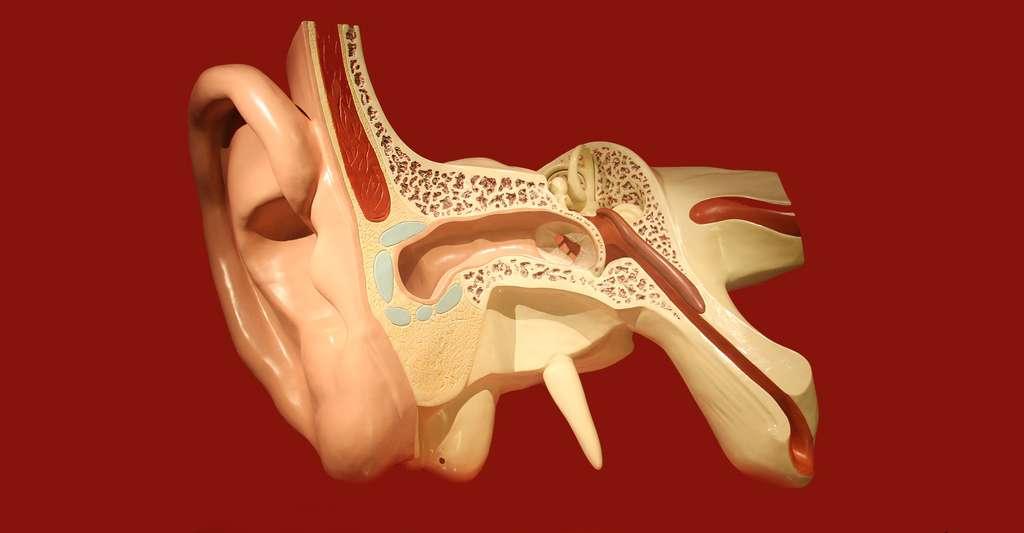 Anatomie de l'oreille humaine. © Bjoertvedt, DP
