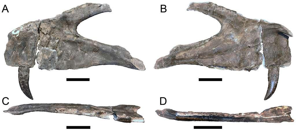 Le maxillaire gauche de Torvosaurus gurneyi vu de côté (A et B), de dessous (C) et de dessus (D). Les dents sont celles d'un prédateur. D'autres ont été retrouvées. La plus grande mesure près de 12 cm (hauteur au-dessus de l'os). Plusieurs différences nettes avec les maxillaires attribués à T. tanneri donnent à penser qu'il s'agit d'une espèce distincte. Les barres d'échelle valent 10 cm. © Christophe Hendrickx, Octávio Mateus, Plos One